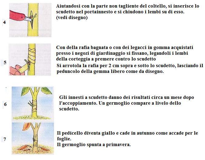 Innesti piante innesto a scudetto for Innesti piante