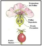 Formazione del Polline 1