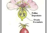 La riproduzione delle piante è opera dei fiori.