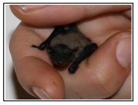 Piccolo pipistrello 1