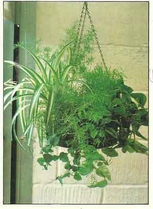 Asparagus Chlorophitum Ficus Epipremnum